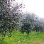alberi-olivo-083