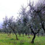 alberi-olivo-086
