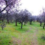 alberi-olivo-094