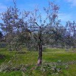 alberi-olivo-096