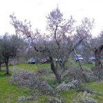 corso-potatura-olivi-141
