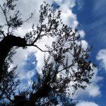 olivo-versoilcielo
