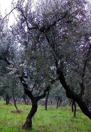 olio-oliva-dop-biologico